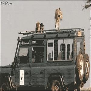 Safari Caca